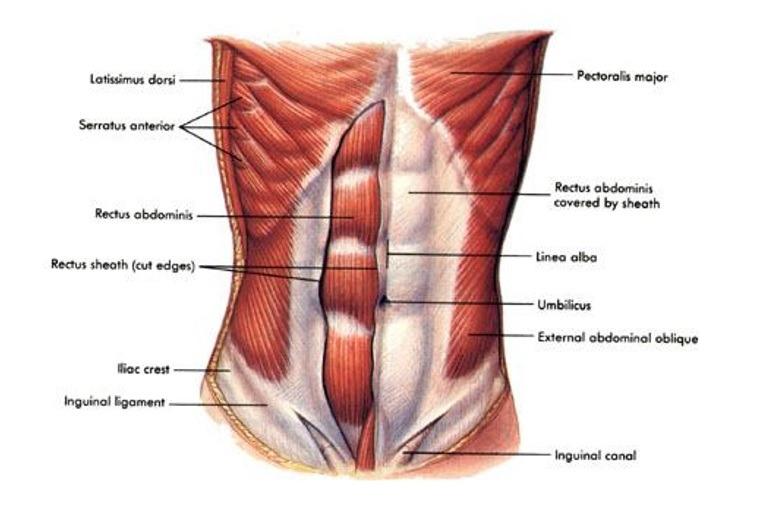 funkcija misica trbuha, funkcija stomacnih misica