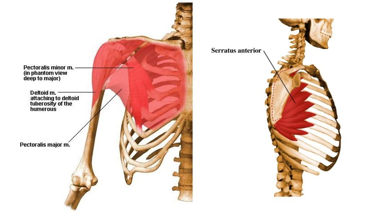 grudni misici anatomija