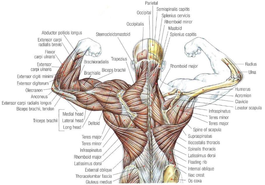 ledjni misici anatomija