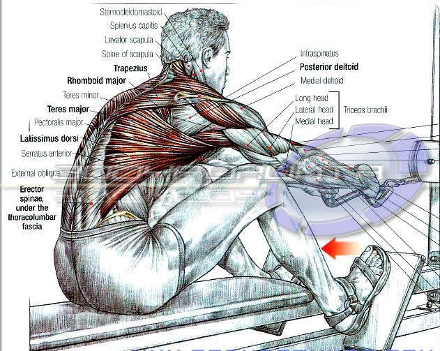 anatomija misica ledja, veslanje na donjem koturu